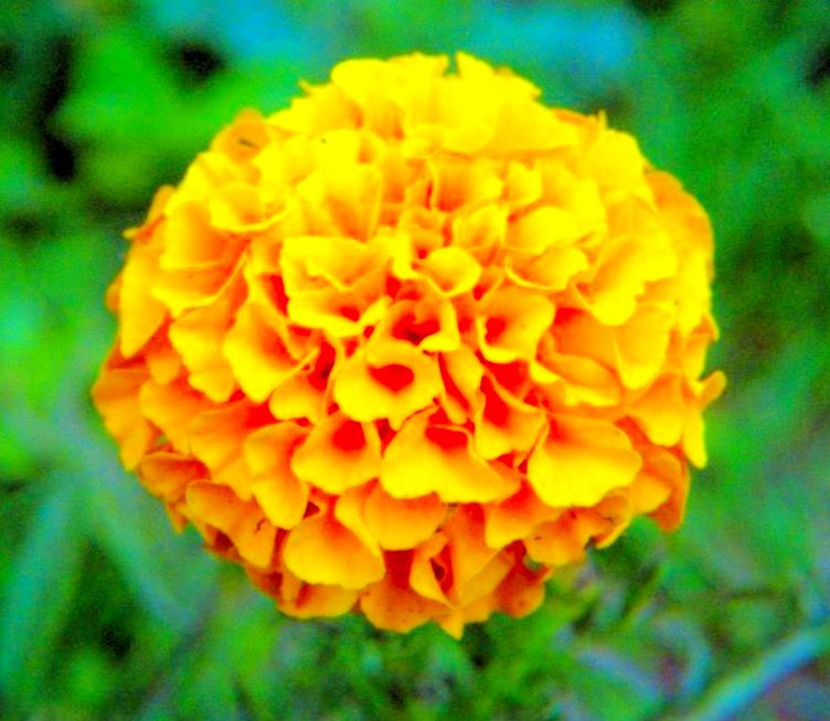 Lutein and Zeaxanthin from Marigold flower Extract